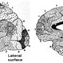 <b>Overall brain anatomy</b>
